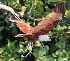 Brahminy Kite with Tree frog. (Inigo images) Tags: kite bird birds dinner flight australia frog lookingup raptor prey daintree seaeagle redbacked haliasturindus brahminy girrenera abcopen:project=lookingup
