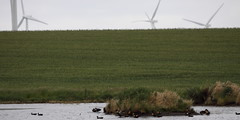 Australian Shelducks (blachswan) Tags: water australia victoria windtowers windtower australianshelduck waubrawindfarm
