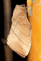 Lebeda nobilis (cowyeow) Tags: china macro nature strange forest bug insect asian weird asia chinese moth taiwan insects bugs lepidoptera moths taiwanese nobilis 拉拉山 baling lebeda lalamountain 下巴陵 lebedanobilis