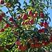Kirschblütenhof - Apfelzweig