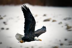 Giving a Fish a Lift (Todd Ryburn) Tags: canon eagle iowa raptor mississippiriver eagles raptors 2011 800mmf56 canon1dmarkiv lockdam14