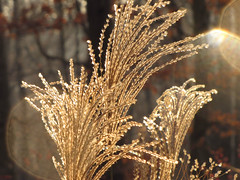 miscanthus in morning sun (Ransomed63) Tags: morning ohio grass naturethroughthelens