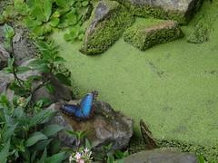Blauer Morphofalter (RdigerF) Tags: butterfly mariposa jardins schmetterling papillons hunawihr morphofalter