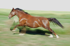 Acceleration (C-Dals) Tags: horse photoshop nikon morgan nikkor equine gallop recoloured 1855mmf3556gvr d5100