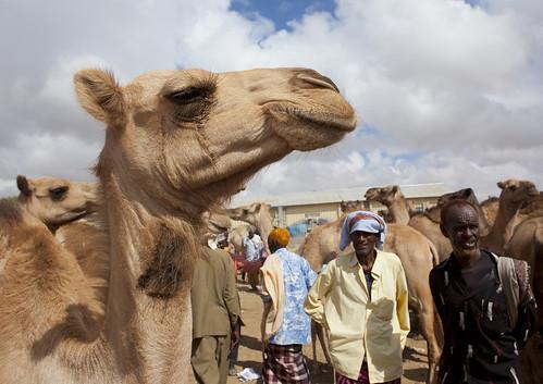 Livestock Market In Hargeisa Camel Trading Somaliland