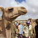 Livestock Market In Hargeisa Camel Trading Somaliland