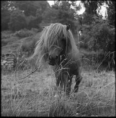 pony (Robignuud) Tags: bw 6x6 film bokeh animali mamiyac220