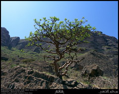 Dhofari Frankincense, Boswellia sacra, Tree in Fizah (Al Fazayeh), Rakhyout, Dhofar (Shanfari.net) Tags: wild plants plant tree green nature wonderful season lumix flora raw natural panasonic sacra sacred vegetation greenery wilderness lush oman fz luban zufar rw2 salalah sultanate frankincense dhofar  khareef  burseraceae   dufar olibanum  wonderers boswellia encense     libanos candur najdi dhufar  governorate  lubban shazri  dofar fz38 boswelliasacra fz35 dmcfz35 olibanumtree khunk levonah houjari