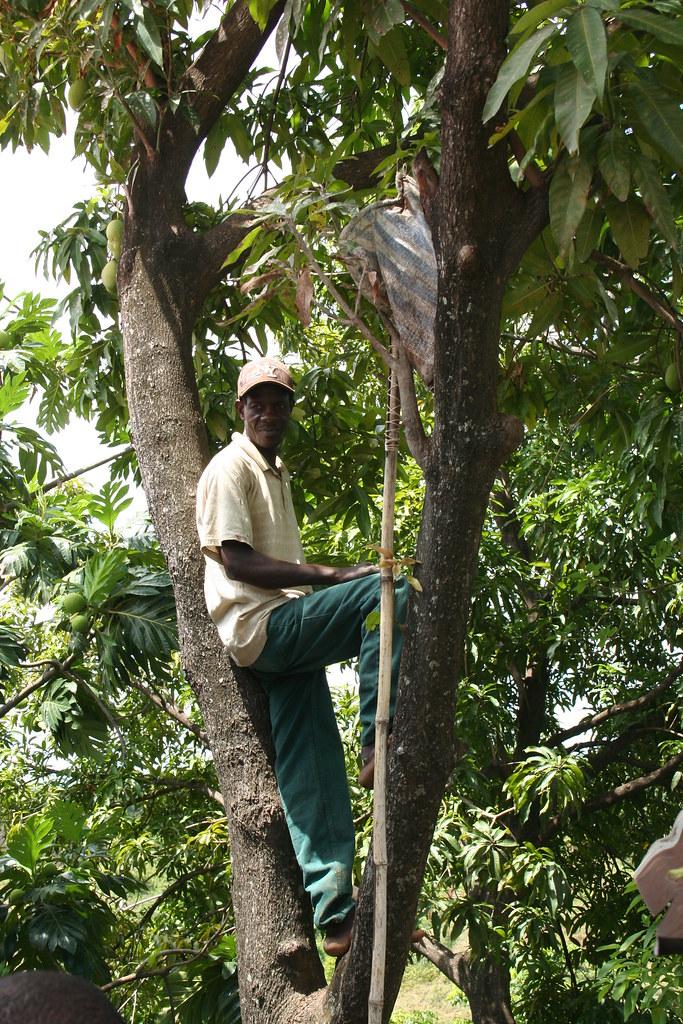 Cueillette mangue