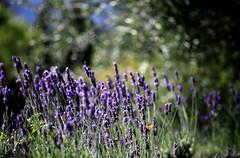 Dans le vert-mauve (claude lina) Tags: france provence lavande vignes tournesol oliviers ardche coquelicots
