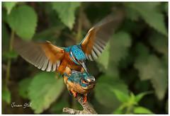 Mating Kingfishers (www.jeroenstel.com) Tags: mating kingfishers
