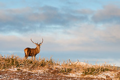 Red Deer - Spittal of Glenmuick (Brian D 1960) Tags: scotland reddeer