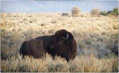 morning sage (laura's Point of View) Tags: autumn nature buffalo wildlife jackson sage flats valley wyoming bison grandtetonnationalpark lauraspointofview lauraspov