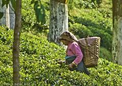 Tea Picker (Peter L Barker) Tags: india nature tea darjeeling agricuture teapicking teaharvest