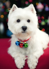 ready for christmas (paulh192) Tags: christmas family dog home nikon westie canine terrier westhighlandwhiteterrier