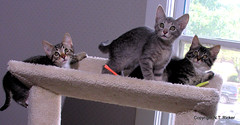 On Top of the World (NTFlicker) Tags: cattree tabbycats nikoncoolpix8800 threekittens 81daysold