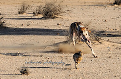 .....hunting (  a.alomair) Tags: hunting hunt