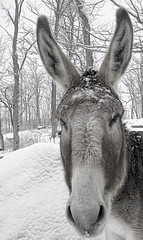 Thor the Wise Funny One (Mulewings~) Tags: frost december drawing donkey ears frostymorning chillymorning imallears elements5 december2011 topazsimplify topazdetail walkabouttheyard