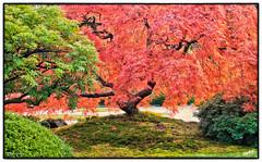 Japanese Garden_20111106_031 (msankar4) Tags: autumn color fall oregon portland japanese japanesegarden maple japanesemaple