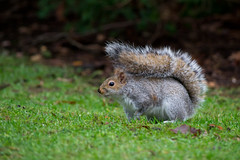 Clumber-116 (Krismose) Tags: cute nature squirrel wildlife clumberpark chrismoseley