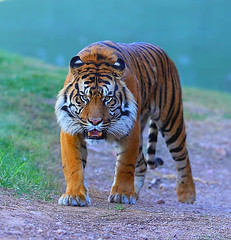 Meooowwww (gbrummett) Tags: phoenix zoo tiger sumatran img6449 canoneos5dmarkiicamera canonef200mmf2lisusmlens grantbrummett