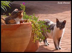 Dialogue (Zachi Evenor) Tags: cats cat israel catus  felis  felissilvestriscatus silvestris   zachievenor
