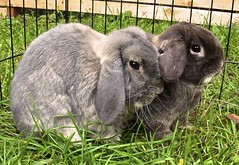 Bunnies 1.1.12 (apstyle21) Tags: holland bunnies rabbits lop