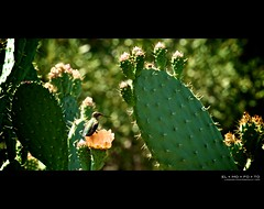 basking in the warm glow [notes welcome] (elmofoto) Tags: cactus flower garden botanical los glow dof hummingbird angeles bokeh peach happiness fav20 pear wish thorns fav30 prickly 500v nopal cactusflower fav10 fav40 juici nikkor70200f28 afsnikkor70200mmf28gedvrii mygearandme mygearandmepremium ssfmlm elmofoto lorenzomontezemolo