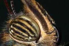 Eye (Traveller_40) Tags: macro eye butterfly mnchen 100mm makro auge schmetterling morphopeleides macrolicious