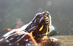 Little Guy (Mike MacLeod) Tags: wild history nature animals museum digital canon education natural turtle reptile painted wildlife center adirondacks 7d dslr picta chrysemys chelonian testudine