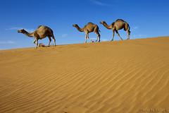 Camels (TARIQ-M) Tags: texture landscape sand waves desert dunes camel camels riyadh saudiarabia بر الصحراء جمال الرياض صحراء رمال جمل ابل رمل طعس كانون نياق المملكةالعربيةالسعودية الرمل ناقة خطوط صحاري ef1635mmf28liiusm canoneos5dmarkii نفود الرمال كثبان براري تموجات تموج نفد