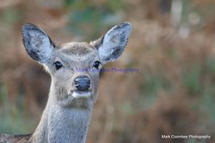 DSC00282 (Mark Coombes Photography) Tags: female deer sika