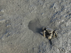 Tunnelling Mud Crab (Home Land & Sea) Tags: newzealand mud crab estuary nz napier mudflats sonycybershot hawkesbay tunnelling ahuriri kairau homelandsea dschx100v helicecrassa