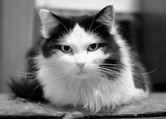 Burning Intensity (Paul Hecker Photography) Tags: blackandwhite cats cute monochrome cat kitten pretty dad chinesefood kittens whiskers western cateyes intensity purring killereyes princessgem