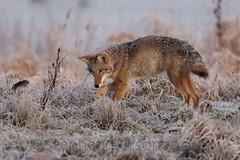 Whacka Vole! (Wandering Sagebrush) Tags: coyote morninglight washington frost frostymorning canislatrans ridgefieldnationalwildliferefuge oregonmeadowvole coyotedsc3501 predatorplay