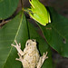 Green Treefrog and Cope's Gray Treefrog Comparison