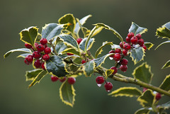 "Ilex aquifolium ""Argentea Marginata"" (silver-margined holly) (PriscillaBurcher) Tags: holly acebo ilexaquifolium englishholly dsc0133 europeanholly christmasholly silvermarginedholly"