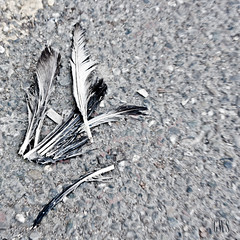 Put your title (Giulietta Consiglio) Tags: street city bird photoshop square death wing asphalt plumage