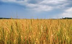Wheat Field (Sky Noir) Tags: travel sky usa field clouds photography virginia us day cloudy farm wheat unitedstatesofamerica va wavesofgrain skynoir bybilldickinsonskynoircom