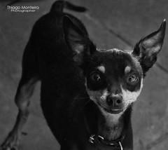 Balinha (ThiagoMonTeiro) Tags: dog pet co cachorro canino chiuaua animaldeestimao melhoramigodohomem thiagomonteiro clifti