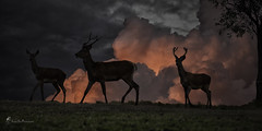 deer after sundown (southern_skies) Tags: sky animals clouds australia deer antlers queensland reddeer feral upperbrisbanevalley