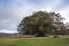 Old yew tree (justyourcofchi) Tags: old trees england sun tree landscape spring model ancient flickr photographer abby yew waverly yewtree chiarnold justyourcupofchicom justyourcupofchi