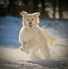 Miesha (Padrone) Tags: winter dog snow cold smile play breath retriever explore miesha