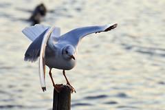 Steady (Charliebubbles) Tags: canon eos blackheadedgull nantwich 400d canoneos400d chishire chroicocephalusridibundus nantwichlake shrewbridgelake
