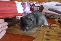 cute Ebonek in daylight:) (springhawk) Tags: pet animal rodent hamster keek ebonek