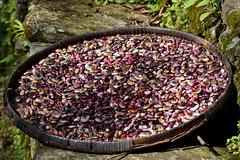 Beans drying in the sun (Michał Olszewski) Tags: nepal asia bean land himalayas acap gandaki kaski annapurnaconservationarea annapurnaconservationareaproject