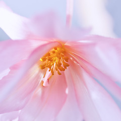 DEEP DOWN WITHIN ITS HEART (ajpscs) Tags: pink winter flower macro japan japanese tokyo petals nikon begonia  nippon   tamron  tamron90mm  d300 chfu jindaishokubutsukoen   ajpscs