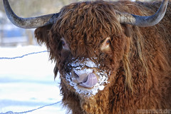Popeln verboten ! (alpenbild.de) Tags: schnee winter snow tongue nose kuh cow nase zunge galloway