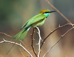 Green Bee-Eater (Raghuvir solanki) Tags: thewonderfulworldofbirds allofnatureswildlifelevel1 allofnatureswildlifelevel2 allofnatureswildlifelevel3 allofnatureswildlifelevel4 allofnatureswildlifelevel5 allofnatureswildlifelevel8 allofnatureswildlifelevel6 allofnatureswildlifelevel7 allofnatureswildlifelevel9