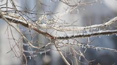 Melting ice on tree (Trevdog67) Tags: morning winter sun canada tree ice melting january atlantic newbrunswick moncton nouveaubrunswick melt 29 icicles maritimes freezingrain 2012 westmorlandcounty